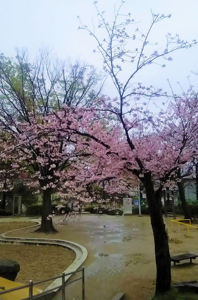 2017大阪府豊中市桜開花情報